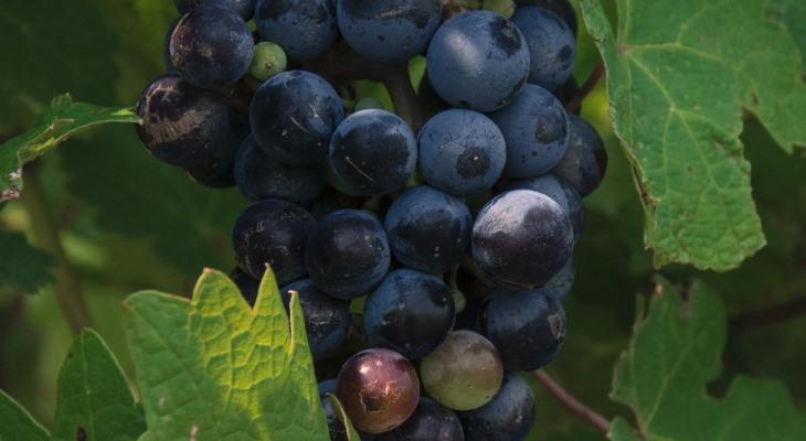 Виноград каберне