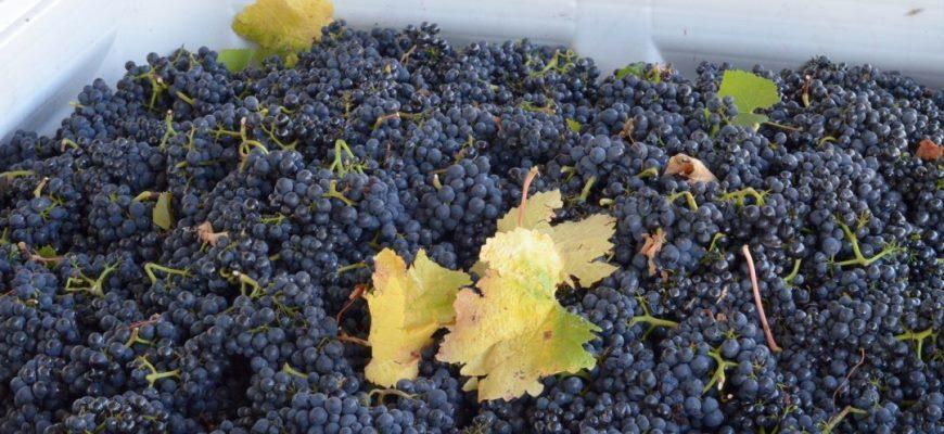 самогона из винограда