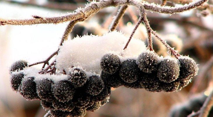 Лучше брать черную смородину для настроек после первых морозов