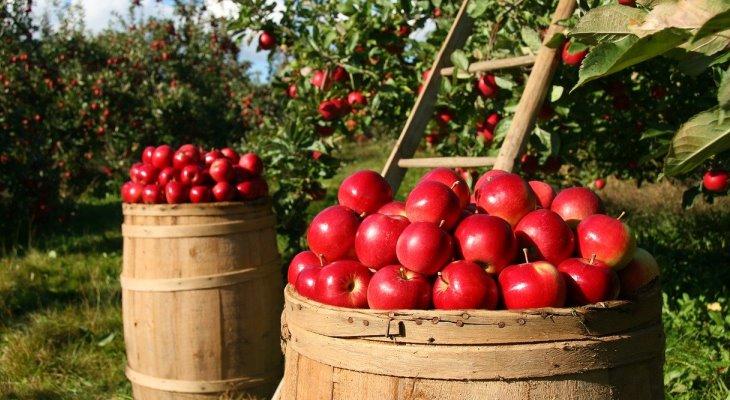 Яблоки сладкие для браги