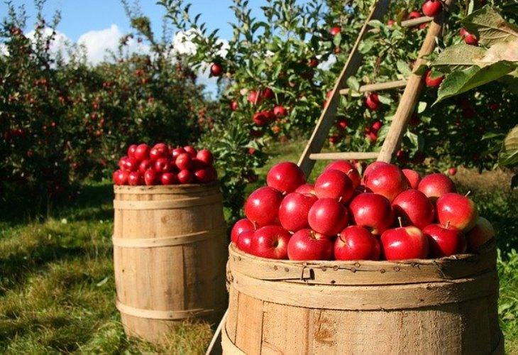 Свежесобранные яблоки лучше всего подходят для настойки