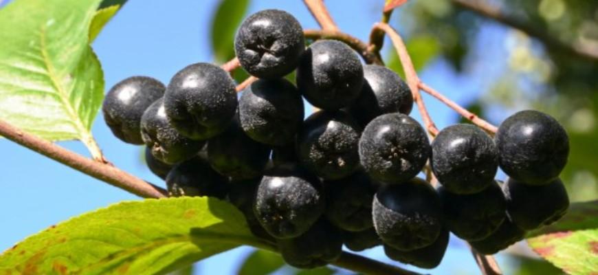 брага из черноплодной рябины